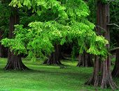 Dawn Redwood Trees