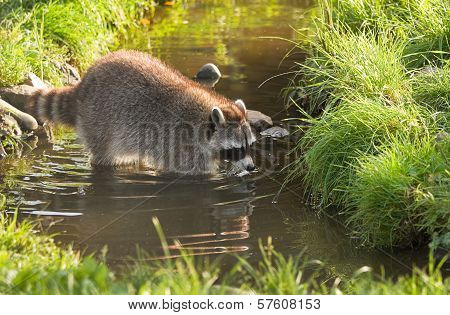 Common Raccoon Or Procyon Lotor In Water