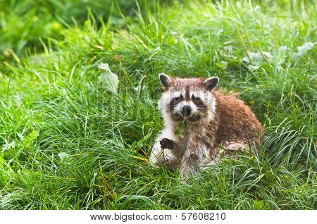Common Raccoon Or Procyon Lotor Sitting On Grass