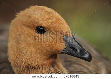 Brown Duck
