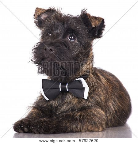 adorable puppy in a bow tie