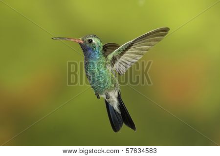 Female Broad-billed Hummingbird in flight