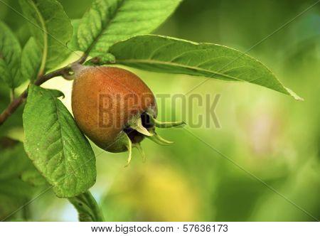 Branch Of Medlar