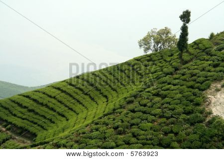 Tea Garden On Mountain Slope