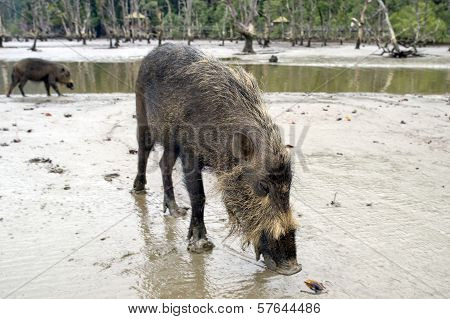 Wild Pig, Borneo