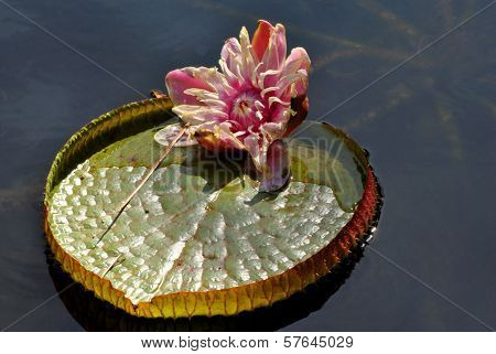 Giant Amazonian Waterlily