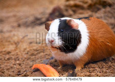 Guinea pig or hamster