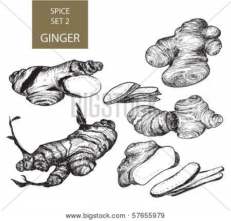Ginger Root Illustrations