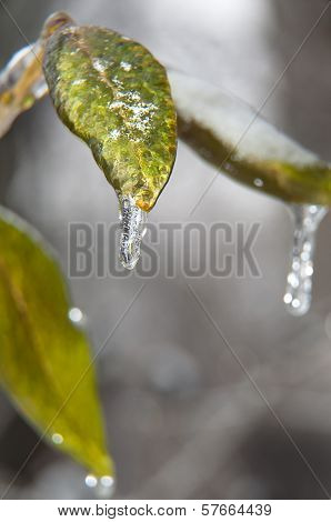 Leaves And Ice.