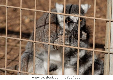 Caged Ring Tailed Lemur Looking Sinister