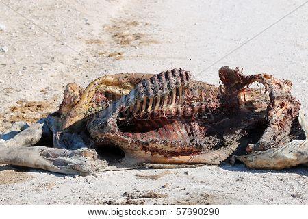 Giraffe Cadaver