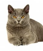 foto of portrait british shorthair cat  - Portrait of adorable gray British Shorthair cat on a white background - JPG