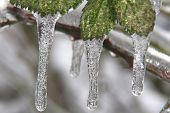 stock photo of frostbite  - Leaves covered with ice - JPG