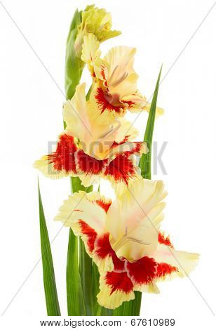 Beautiful fresh red and yellow gladiolus isolated on white background \ vertical