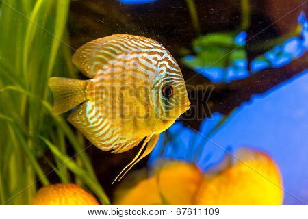 Aquarium With Tropical Fish Of The Symphysodon Discus Spieces