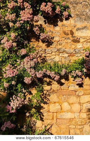Vertical Pic Of Climbing Plant In Stoned Wall