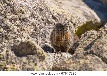 Colorado Marmot