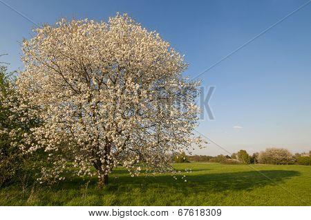 cherrytree blooming