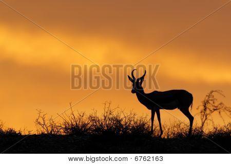 Silueta de Springbok, desierto del Kalahari, Sudáfrica