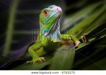 Green Iguana in Dark