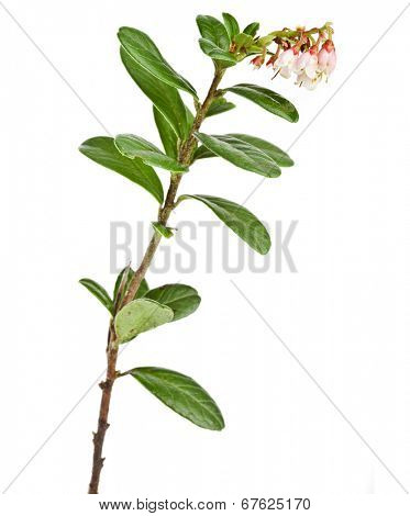 flowering cowberry plant close up macro shot plant isolated on white