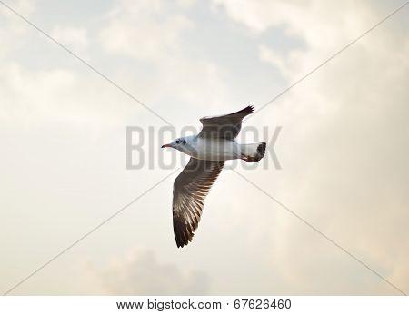 Gull Flying, Brown-headed Gull