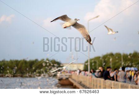 Beautiful Gull Flying At Bangpoo, Thailand