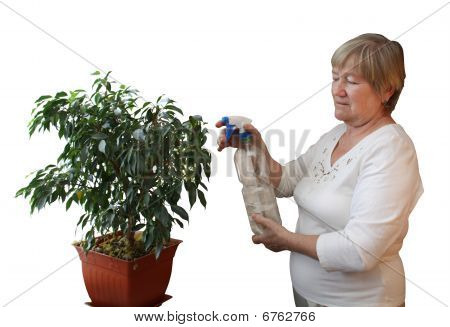 Elderly woman sprinkled ficus