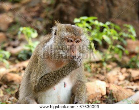 Macaque  (macaca Fascicularis)