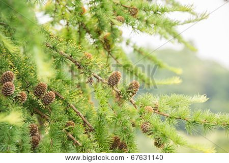 Conifer Tree With Pine Cones