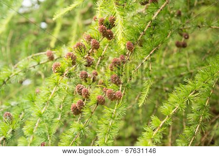 Conifer Trees With Pine Cones Close-up