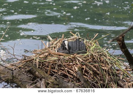 a coot brooding in the nest