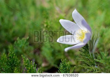 Prairie Crocus on Green Background