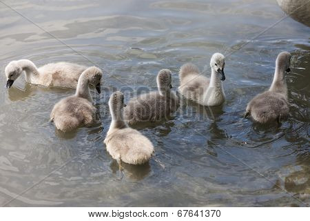chicks of the swan