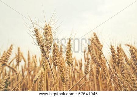 Wheat Ears In The Field.