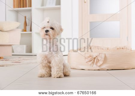 Cute young Maltese sitting near his bed at home
