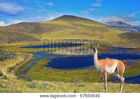 Dreamland Patagonia. Blue water grassy lake, on  hill stands beautiful guanaco. National Park Torres del Paine in Chile
