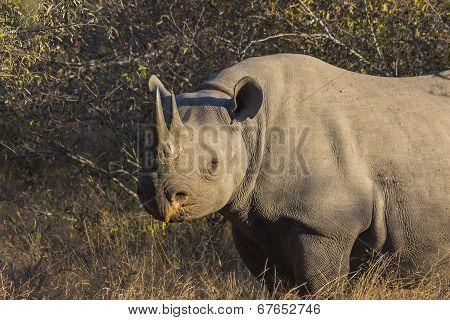 Black rhino in the wild 1