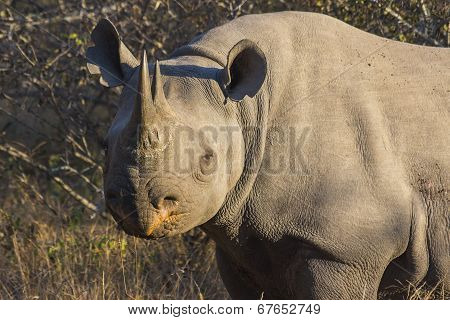 Black rhino in the wild 2