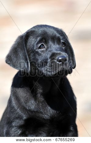 Cute Labrador Puppy Portrait