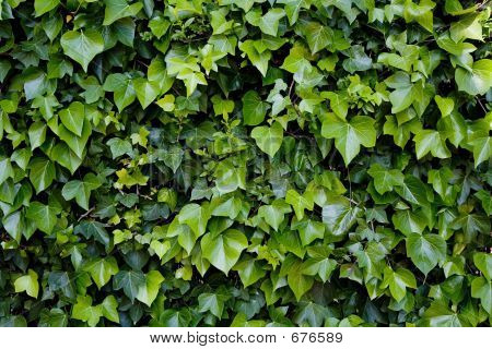 Ivy Over Wall