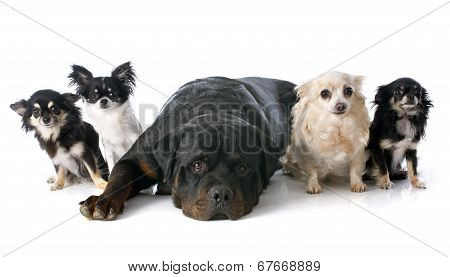 Chihuahuas And Rottweiler