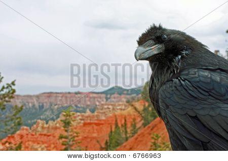 Bryce Canyon Raven