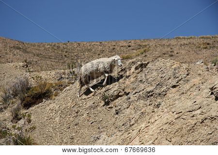 Sheep climbing the rock