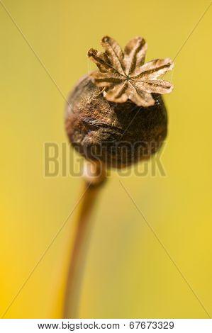 Brown Papaver Somniferum Seed Head