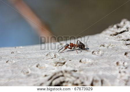 Red ant (Formica rufa) walking on bark