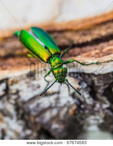 Green Beetle On A Birch Stump
