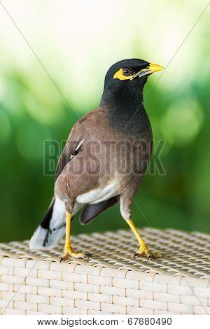 Common Hill Myna Bird