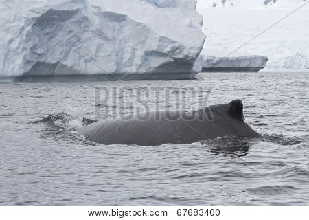 Humpback Whale Swims Near An Iceberg Autumn Overcast Day