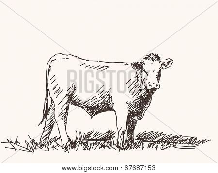 Sketch of bull, Hand drawn vector illustration